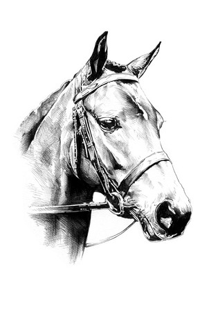 Horses: horse head pencil drawing