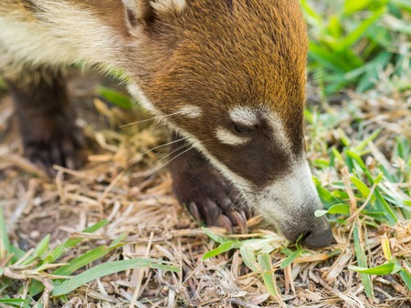 White-nosed coati (Nasua narica) in the wild, Yucatan, Mexico Stock Photo