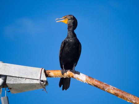 Double-Crested Cormorant on Rusty Street Light at Harbor, Progresso, Mexico