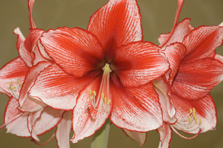 Red and white variegated amaryllis flowers on a homogeneous  photo