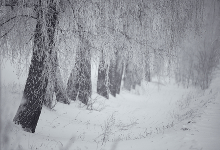 no body: Black and white winter. Birch trees in the fog. Belarus January