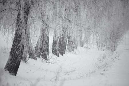 laconic: Black and white winter. Birch trees in the fog. Belarus January