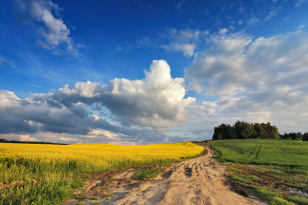 colza: Country road in spring colza fields in Belarus