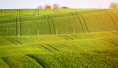 Abstract pattern texture of rolling wavy fields in spring. Spring green fields on hills.  The field of young wheat. Moravia, Czech Republic