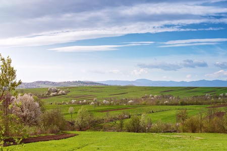 Spring cherry orchard blossom on hills. Green spring landscape. Spring fields and blooming trees. Sunny spring