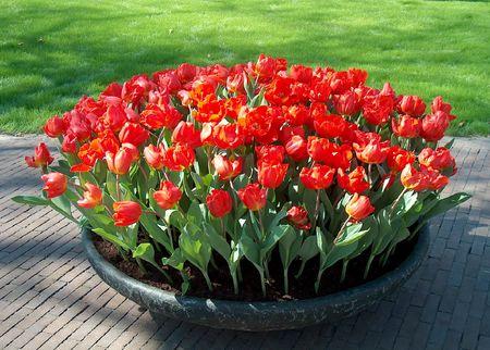 Beautiful red tulips photo