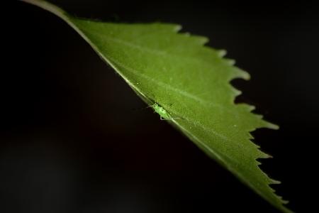 Tiny Plant Louse