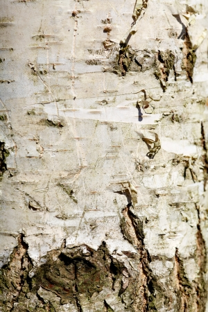 Birch Bark Structure