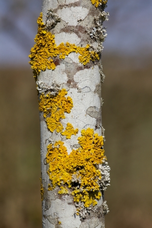 White Tree Bark with Lichens