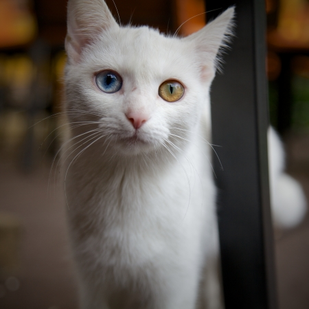 Cat with Heterochromia