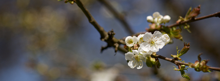 Cherry Blossoms Cover Photo