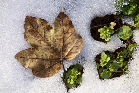 Dry Maple Leaf on Melting Snow Standard-Bild