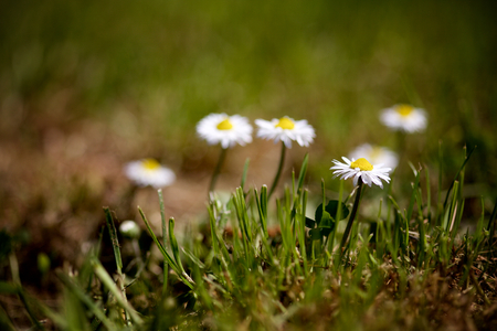 Isolated Daisies Close-up Stock Photo