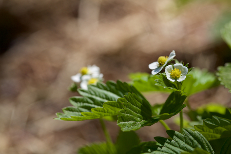 Strawberry Plant Blossoms