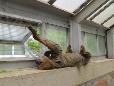 marsupial: Marsupial sloth