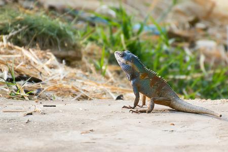 lizard in field: Asia Camaleón en el campo de cebada borrosa hasta background.Close