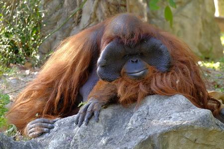orangutan in zoo, Thailand.