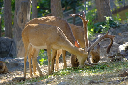 Red deer stag during rutting season in chiang mai zoo
