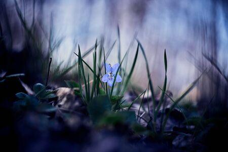 Wild blue violet blooming in forest grass. Viola odorata. Spring flower. Selective focus. Single viola flower.