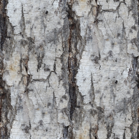 birch tree texture seamless background wallpaper photo