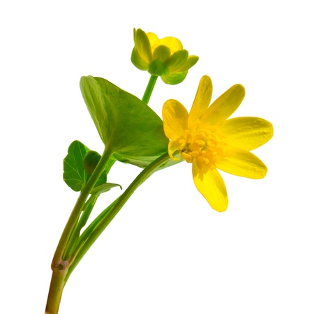 Forest Ranunculus Ficaria spring buttercup yellow flower Chistyakov isolated on white background Stock Photo