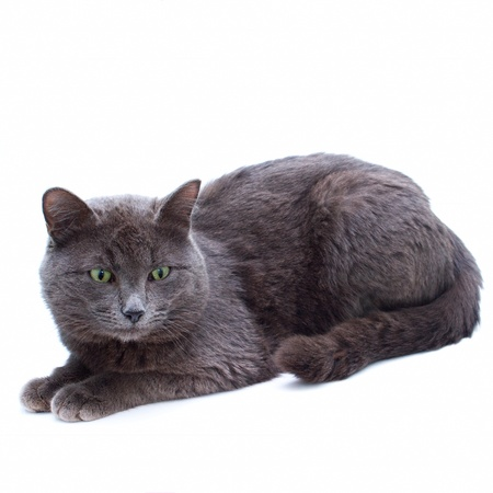 grey yard cat with green eyes sitting looking towards isolated on white background photo