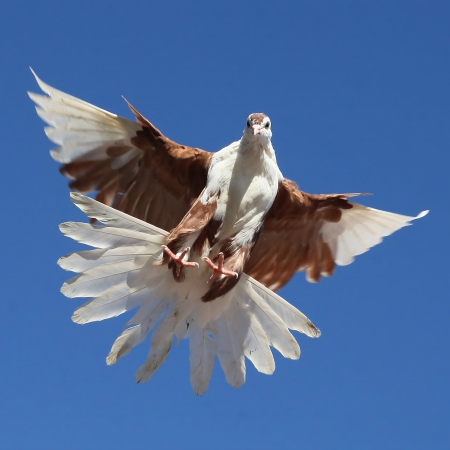 White brown pigeon dove flying against the blue sky Stock Photo - 16874800