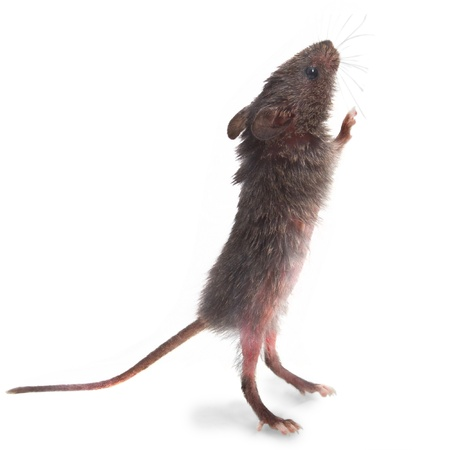 wild gray mouse rat stands on its hind legs sniffing isolated photo