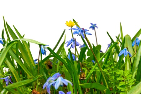 general view of forest wild flowers and grass blue snowdrops isolated on white background photo