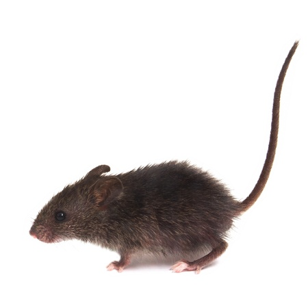 Mouse wild rat isolated on white background photo