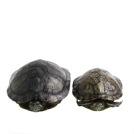 two turtle isolated on white background Stock Photo - 16874827