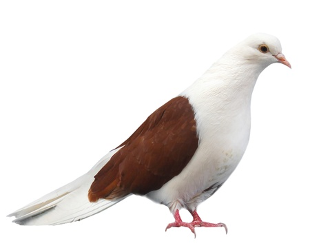 Brown white dove sits isolated on a white background
