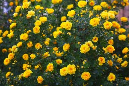 briar bush: briar yellow rose bush flowers nature background wallpaper Stock Photo
