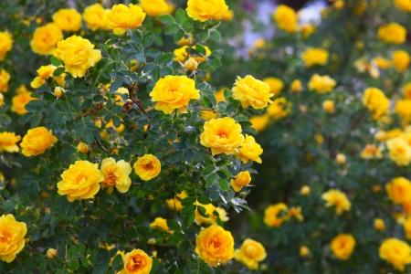 briar bush: bush briar yellow rose flowers nature background wallpaper Stock Photo