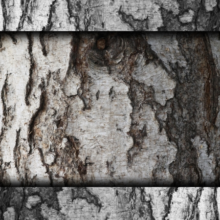 bark of birch tree texture old background wallpaper photo