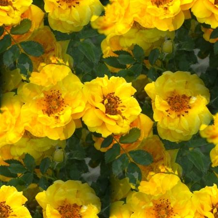 briar: yellow briar rose flower seamless texture wallpaper Stock Photo