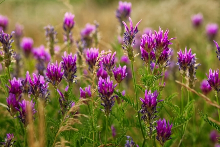 colo: purple nature background flower summer field flowers beauty colo