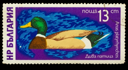 waterfowl: BULGARIA - CIRCA 1980: A stamp printed in BULGARIA, shows duck Anas platyrhynchos, from series Waterfowl, circa 1980