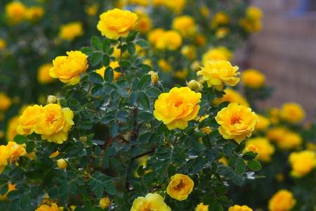 briar bush: yellow rose briar bush flowers nature  Stock Photo