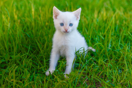 kitten cute cat with blue eyes, white on green grass pet animal Stock fotó