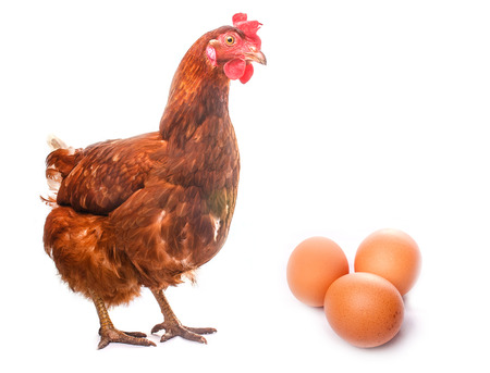 chicken live bird redhead looks at three eggs isolated on white photo