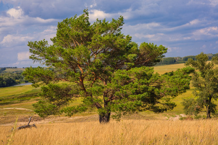 lone pine: lone pine tree stands in  field on  background of blue sky Green summer landscape