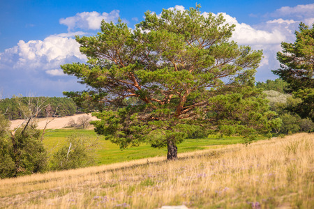 lone pine: lone pine tree stands in a field on a background of blue sky Green summer landscape Stock Photo