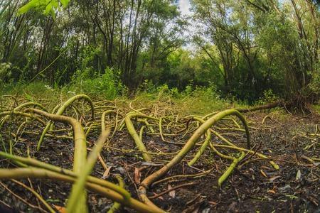 terribly: nature terribly long roots like tentacles stalks of grass on  background green trees and black earth landscape photo