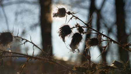 sways: thorn silhouette dry grass sways in wind against a landscape nature forest