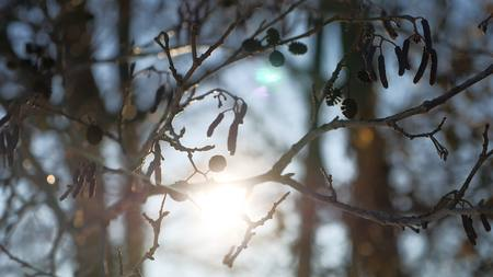 hazel branches: alder tree branch buds swaying wind spring nature offensive landscape