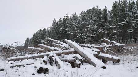 sawmill: sawmill logs pine trees in snow winter forest Christmas tree nature landscape