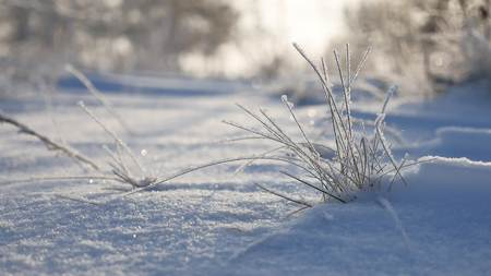 sways: frozen grass sways in the wind in the winter snow falls nature sunlight beautiful sun glare