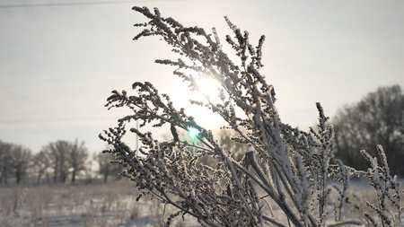 sways: frozen grass sways in the wind in the winter sunlight snow falls nature beautiful sun glare