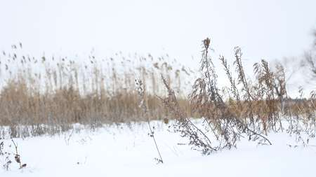 sways: dry grass sways in the wind in snow winter landscape nature